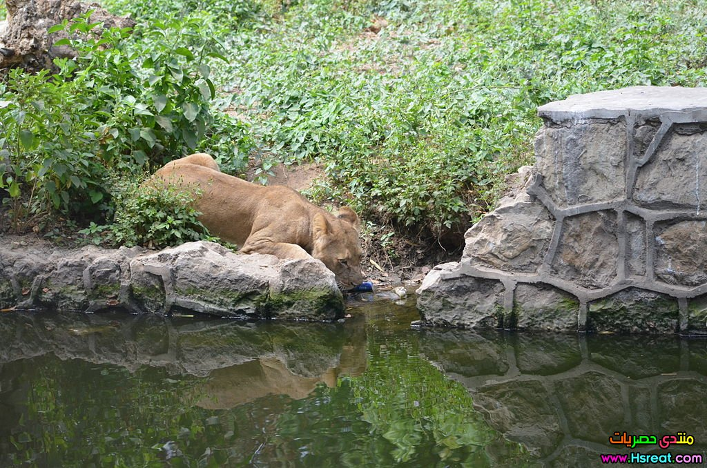 1024px-Lioness_at_Giza_Zoo_by_Hatem_Moushir_1.JPG