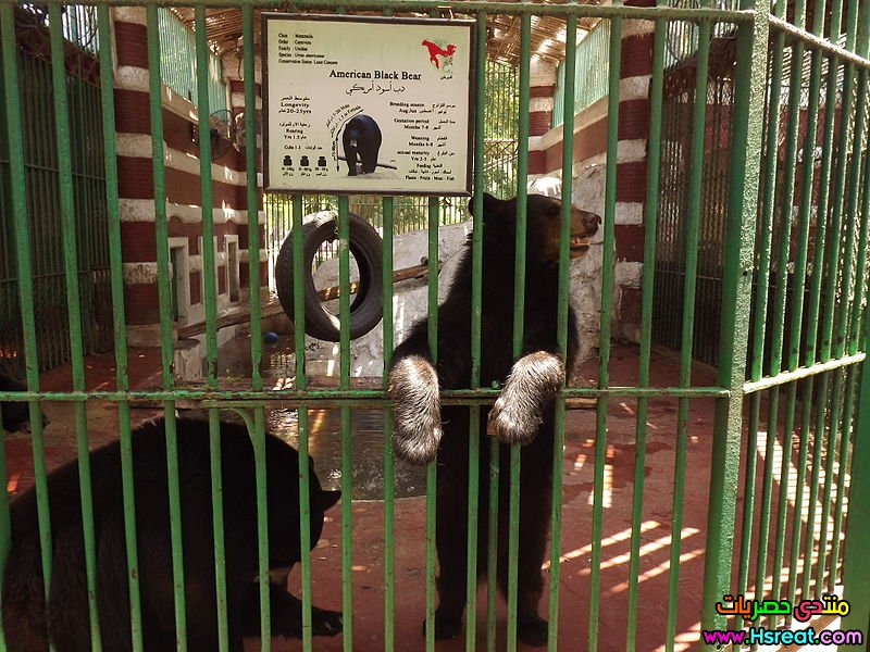 800px-American_Black_Bear_at_Giza_Zoo.JPG