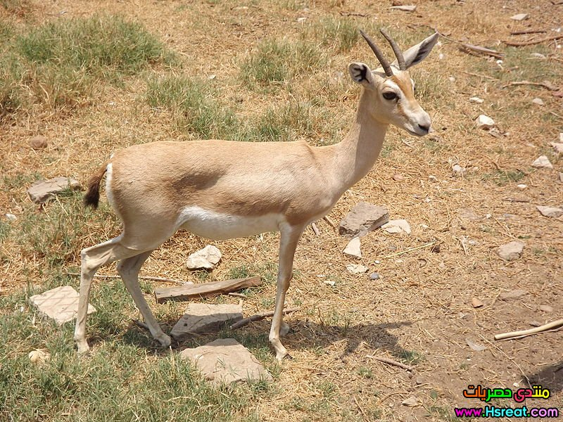 800px-Dorcas_gazelle_at_Giza_Zoo_by_Hatem_Moushir_14.JPG