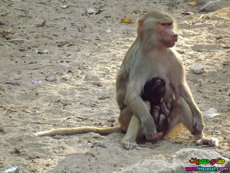 800px-Hamadryas_baboon_at_Giza_Zoo_by_Hatem_Moushir_29.JPG