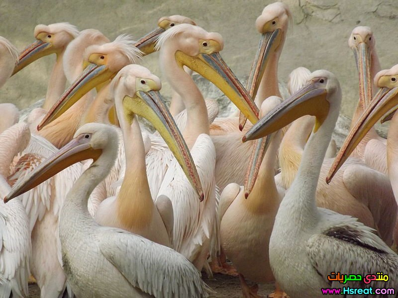 800px-White_Pelican_at_Giza_Zoo_by_Hatem_Moushir_37.JPG
