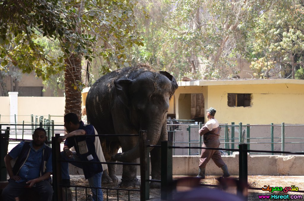 Asian_elephant_at_Giza_Zoo_by_Hatem_Moushir_3.JPG