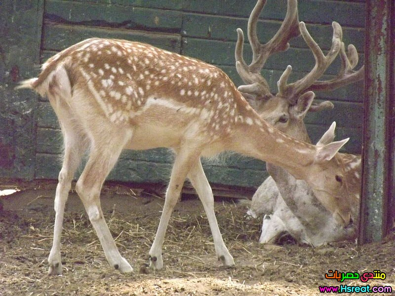 Fallow_deer_at_Giza_Zoo_by_Hatem_Moushir_8.jpg